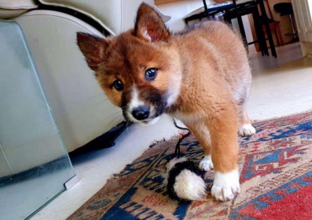 DNA Test Reveals Stray Puppy is Rare Purebred Australian Dingo