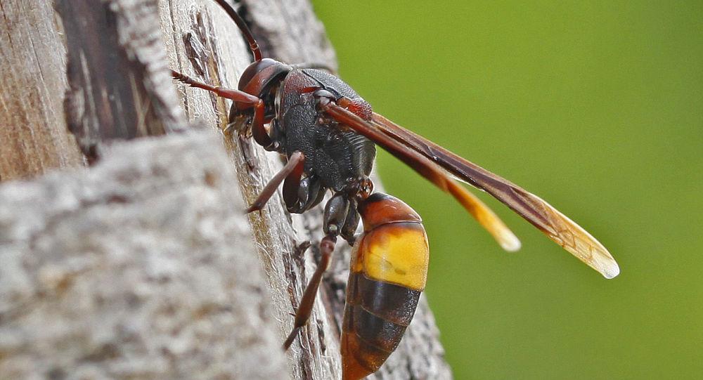 Vespa affinis hornet