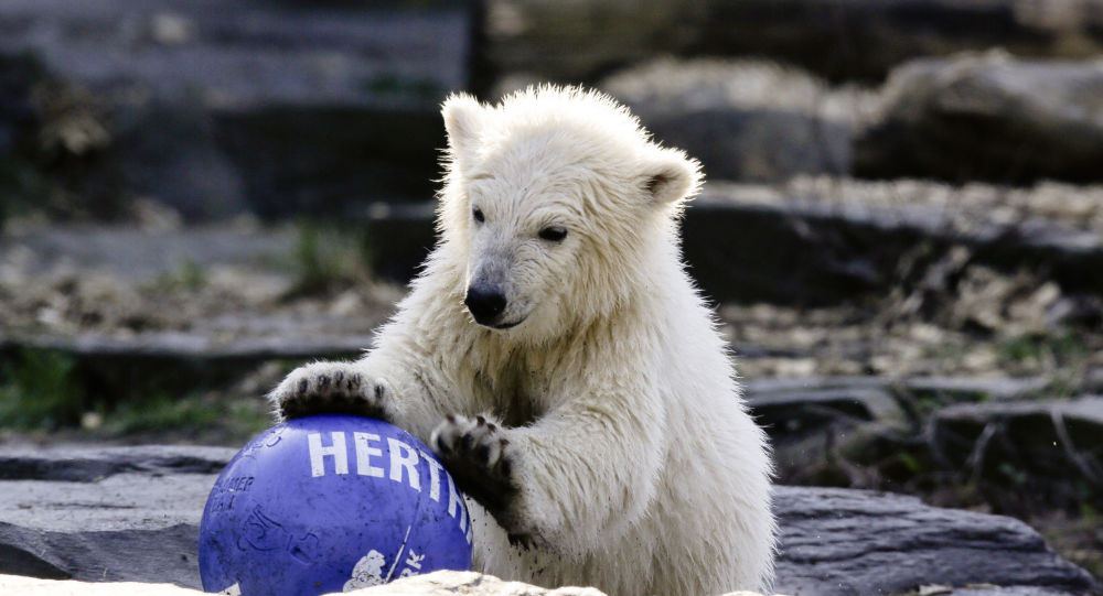 The polar bear cub Hertha