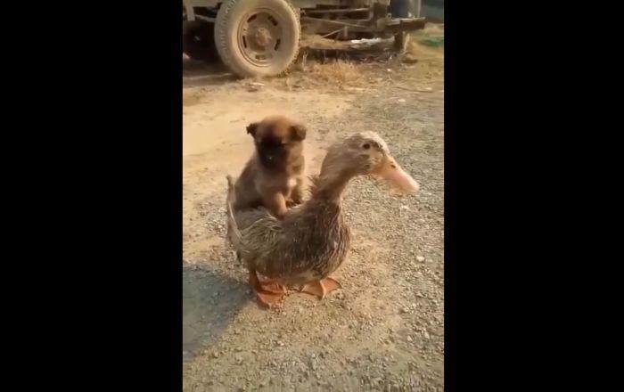 Puppy Rides Duck