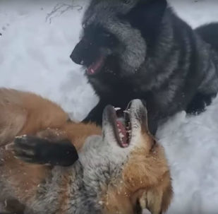 Foxes playing in Minnesota snow