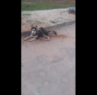Dynamic Husky-Monkey Duo Roams the Streets of Trinidad