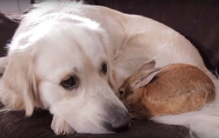 Love Knows No Bounds: Golden Retriever, Rabbit Make Best of Friends