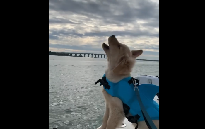 Golden Retriever pup on a boat