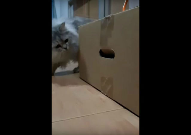 Peek-A-Boo Paw! Thai Cat Perplexed by Strange Box With Arms