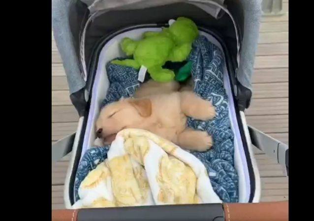 Puppy in Baby Carriage