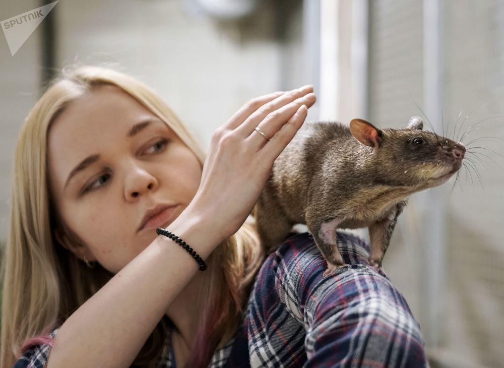 Marina, the wife of Russian zoologist Yevgeny Rybaltovsky, holds a Gambian rat 'Gambi'