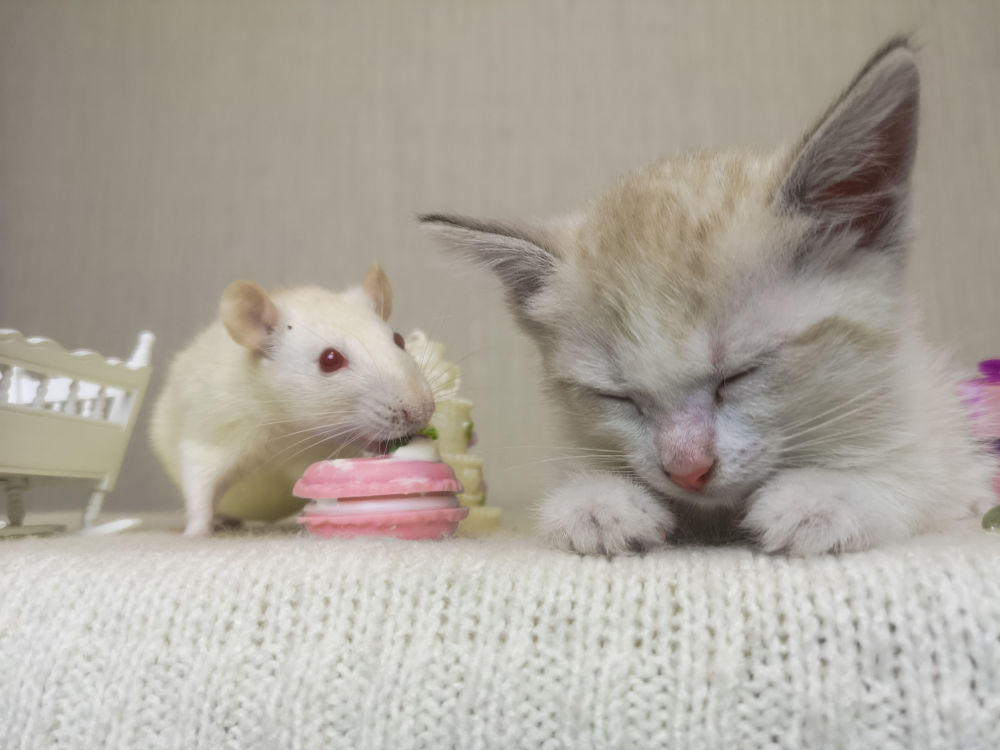 The mouse sits next to the cat. A small kitten fell asleep. Rat's eating. Rodent and predator together.
