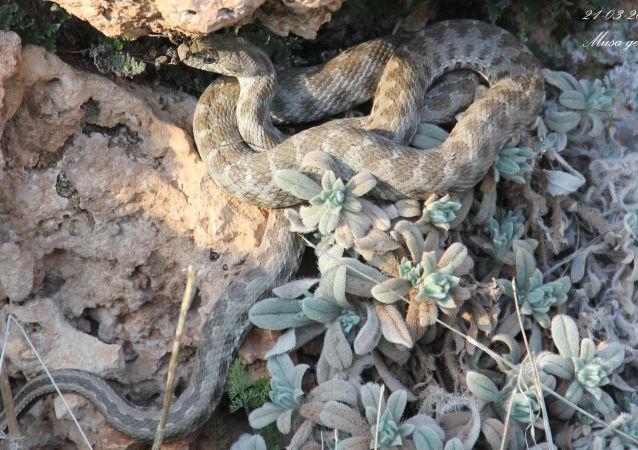 Coin-marked snake (Hemorrhois nummifer)