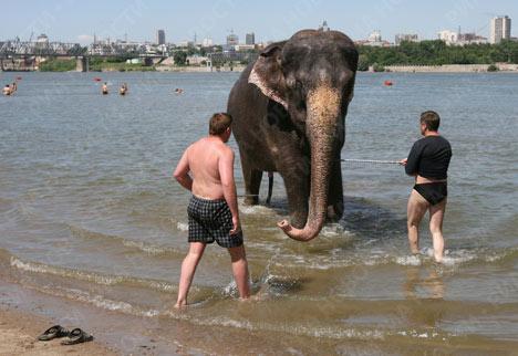 Indian elephants take a dip in Siberian river
