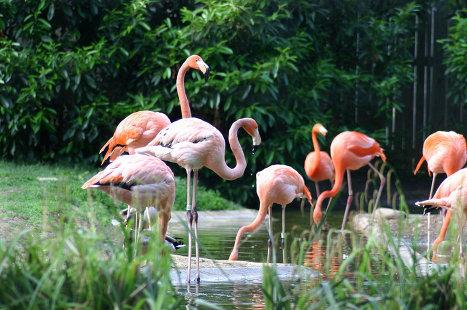 Фламинго в зоопарке Вашингтона