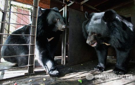 Семейная пара содержит 10 гималайских медведей в Приморском крае