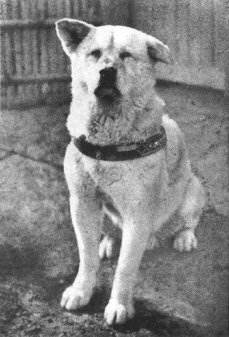 Пёс Хатико породы акита-ину, являющийся символом верности и преданности в Японии
